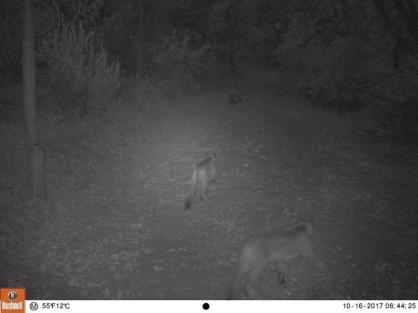 Nearby Mountain Lions Sited