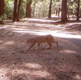 Cougar 11-3-17